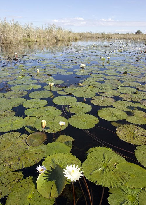 Mp Greeting Card featuring the photograph Water Lily Nymphaea Sp Flowering by Matthias Breiter