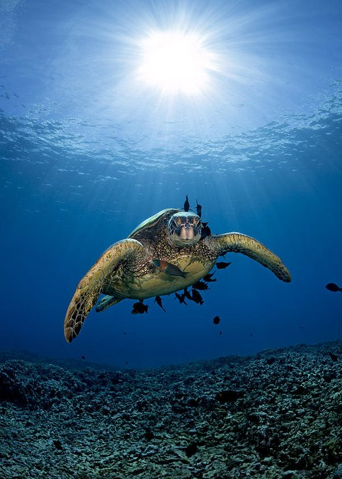 Blue Greeting Card featuring the photograph West Maui Sea Turtle by Dave Fleetham