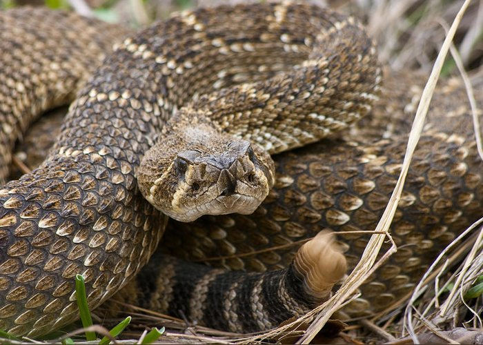 Western Diamondback Rattlesnake - 4665 Greeting Card