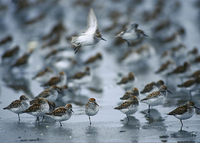 Mp Greeting Card featuring the photograph Western Sandpiper Calidris Mauri Flock by Michael Quinton