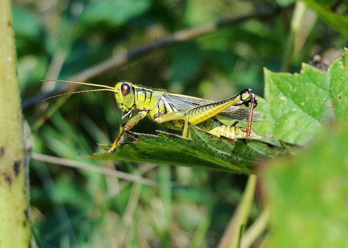 Grasshopper Grass Maine Yellow Bugs Insect Greeting Card featuring the photograph What Is Beneath Our Feet by Katie Bauer