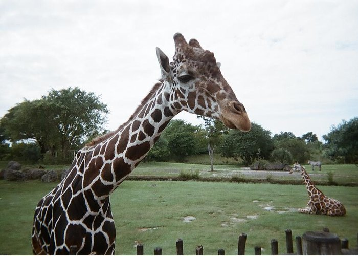 Giraffe Greeting Card featuring the photograph Whats Up by Val Oconnor
