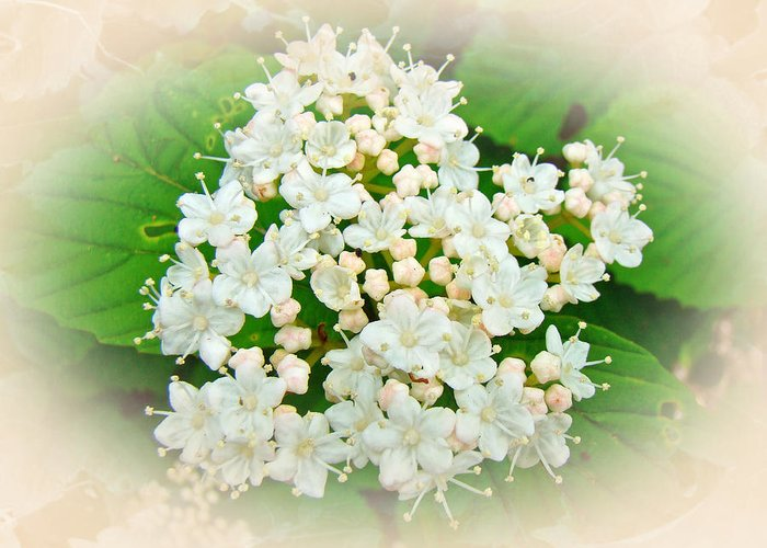 Hydrangea Greeting Card featuring the photograph White And Cream Hydrangea Blossoms by Mother Nature