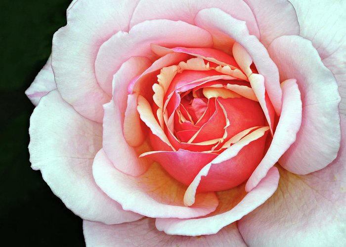 Rose Greeting Card featuring the photograph White And Pink by Dave Mills