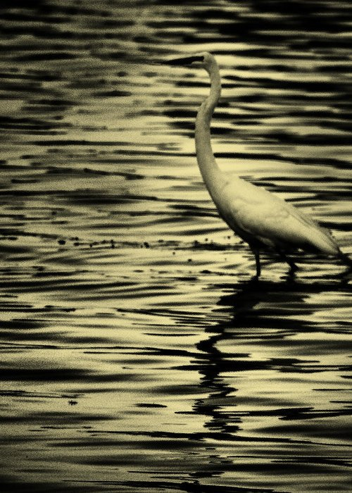 White Crane Greeting Card featuring the photograph White Crane by Roger Wedegis