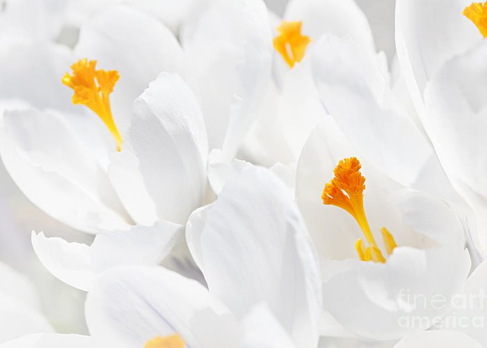 Crocus Greeting Card featuring the photograph White Crocus Blossoms by Elena Elisseeva