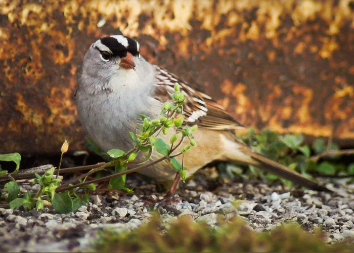 Bird Greeting Card featuring the photograph White Crowned Sparrow by Bill Pevlor