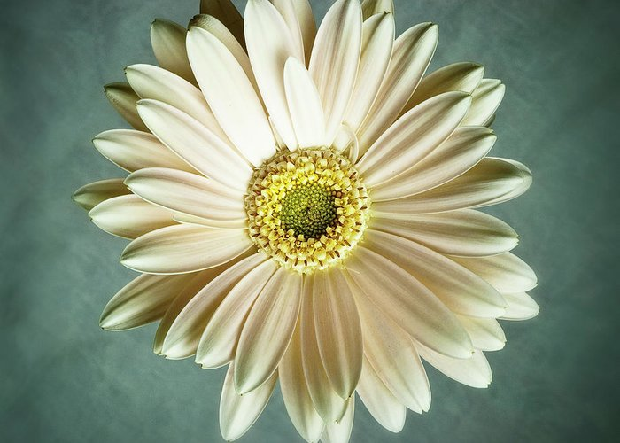 Flower Greeting Card featuring the photograph White Daisy by Tamyra Ayles