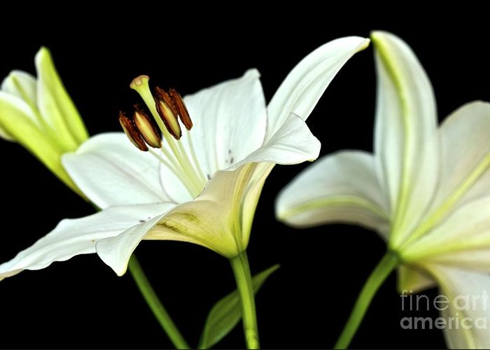 White Lilies Greeting Card featuring the photograph White Lilies by Mihaela Limberea