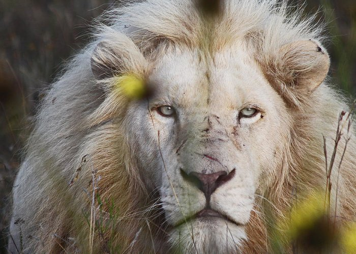White Lion Greeting Card featuring the photograph White Lion And Yellow Flowers by James Hill
