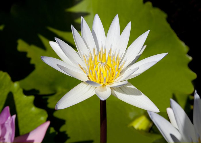 Lotus Greeting Card featuring the photograph White Lotus by Kelley King