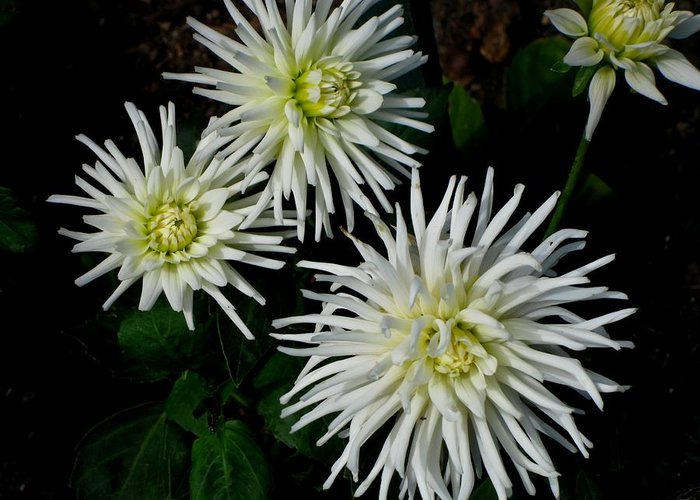 Kathy Long Greeting Card featuring the photograph White Mums by Kathy Long