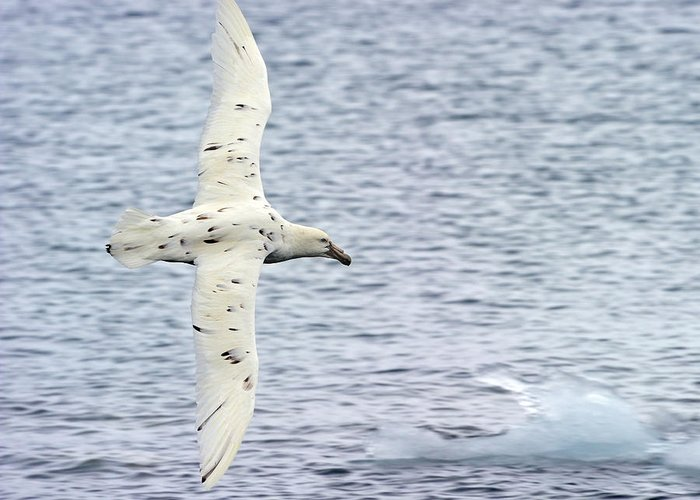 Southern Giant Petrel Greeting Card featuring the photograph White Nelly by Tony Beck