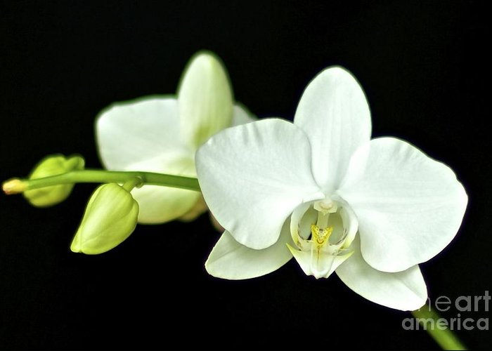 White Orchid Greeting Card featuring the photograph White Orchid by Mihaela Limberea