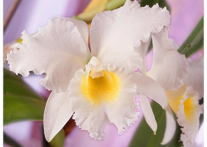 White Flower Greeting Card featuring the photograph White Orchid by Mike McGlothlen