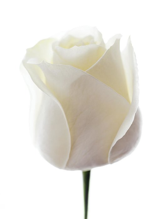 Rosa Sp. Greeting Card featuring the photograph White Rose (rosa Sp.) by Gavin Kingcome