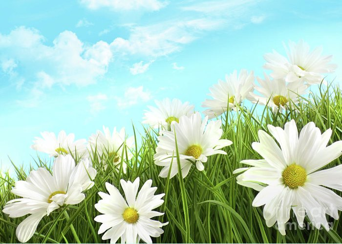Background Greeting Card featuring the photograph White Summer Daisies In Tall Grass by Sandra Cunningham