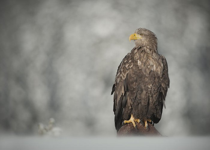 Eagle Greeting Card featuring the photograph White-tailed Eagle by Andy Astbury