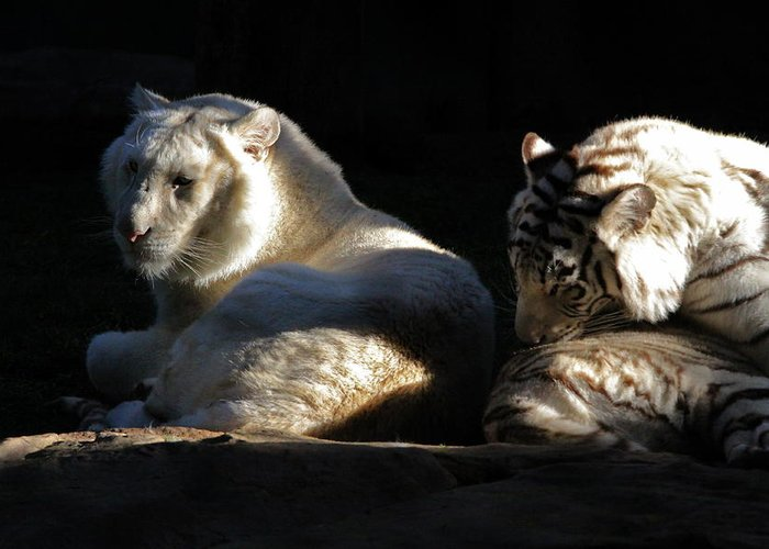 Tiger Greeting Card featuring the photograph White Tiger And Lion by Kate Purdy