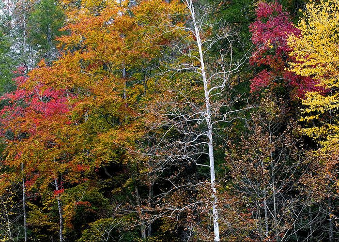 Fall Colors Greeting Card featuring the photograph White Tree Fall Colors by Rich Franco