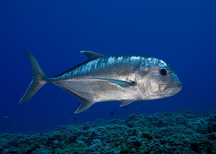 Animal Greeting Card featuring the photograph White Ulua by Dave Fleetham