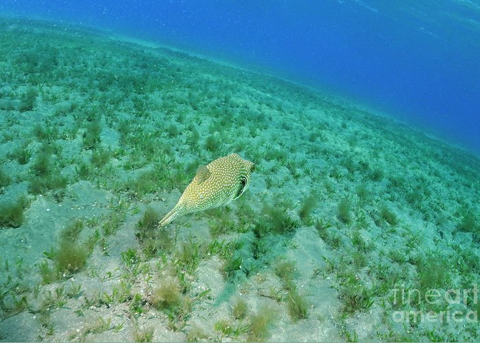 Motion Greeting Card featuring the photograph Whitespotted Pufferfish by Sami Sarkis