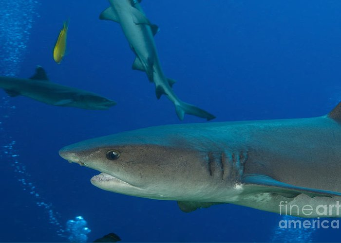 Fish Greeting Card featuring the photograph Whitetip Reef Shark, Papua New Guinea by Steve Jones