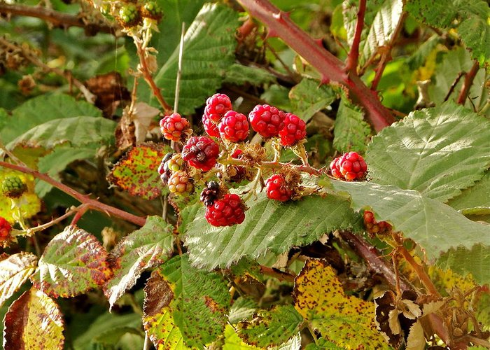 Berries Greeting Card featuring the photograph Wild Berries by Liz Vernand