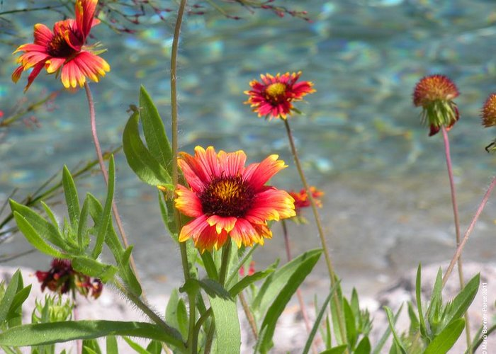 Floral Greeting Card featuring the photograph Wild Daisies by Maria Bonnier-Perez