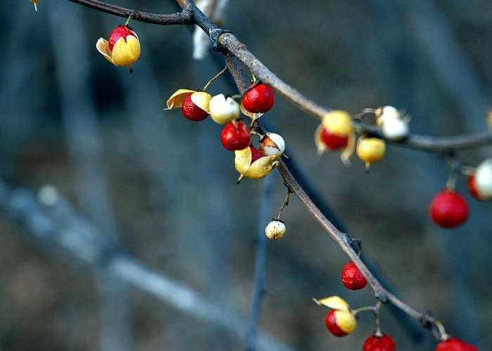 Usa Greeting Card featuring the photograph Wild Red Berries Out Of The Shell by LeeAnn McLaneGoetz McLaneGoetzStudioLLCcom