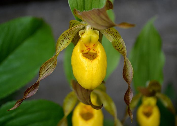 Flowers Greeting Card featuring the photograph Wild Yellow Ladyslipper by Lisa Jaworski