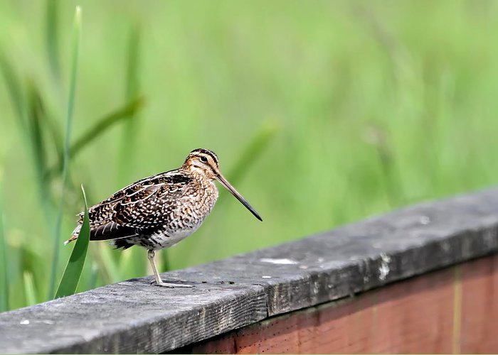 Snipe Greeting Card featuring the photograph Wilson's Snipe by Angie Vogel