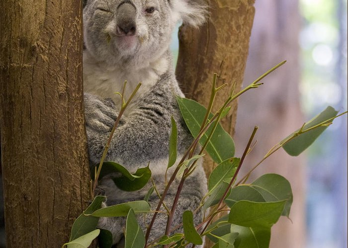 Koala Greeting Card featuring the photograph Wink by Charles Warren