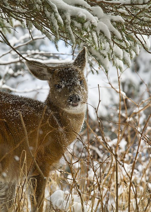 Adult Greeting Card featuring the photograph Winter Dining For A Black-tailed Deer by Tim Grams