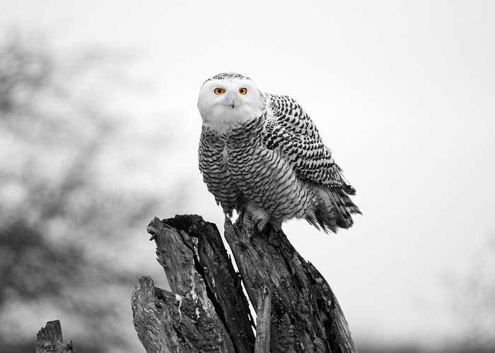 Snowy Owls Greeting Card featuring the photograph Winter Snowy Owls by Pierre Leclerc Photography