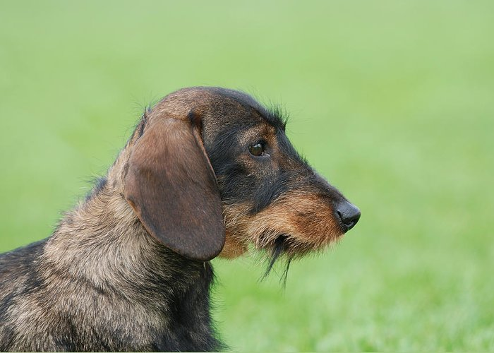 Dachshund Greeting Card featuring the photograph Wire-haired Dachshund Dog by Waldek Dabrowski