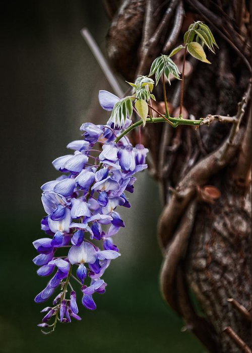 Wisteria Greeting Card featuring the photograph Wisteria by Brenda Bryant