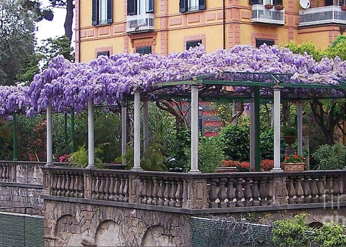 Wisteria Vine In Italy Greeting Card For Sale By Jack Schultz