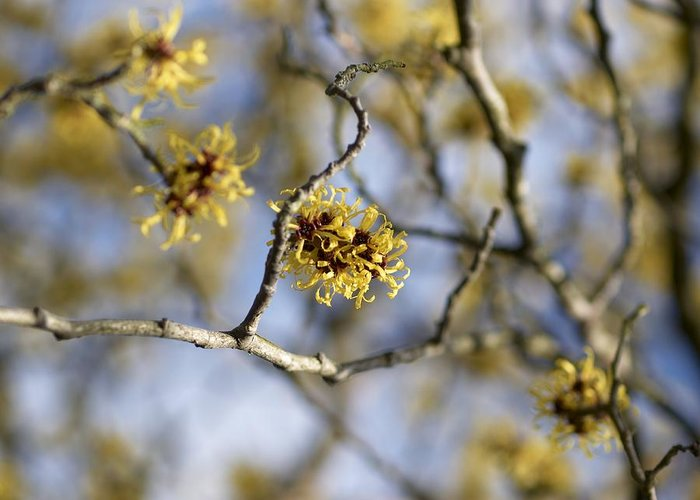 Biological Greeting Card featuring the photograph Witch Hazel (hamamelis Mollis) Flowers by Adrian Bicker
