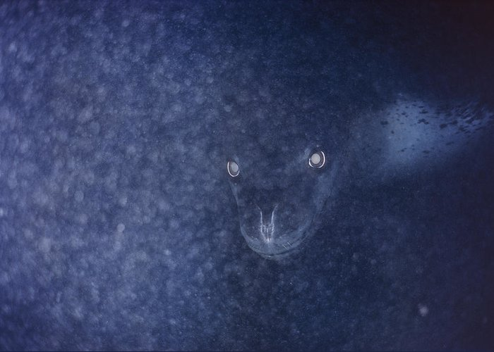 Color Image Greeting Card featuring the photograph With Glowing Eyes, A Leopard Seal Peers by Bill Curtsinger