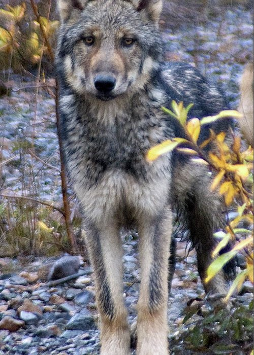 Alaska Greeting Card featuring the photograph Wolf Cub in Denali by Jim and Kim Shivers