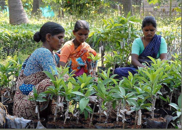 Mango Plants Trees Women Saree Leaves Orange Blue Green Purple White Greeting Card featuring the photograph Women Grafting Mango Plants by Johnson Moya