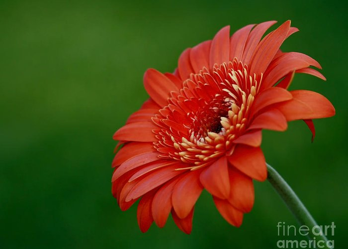 Wonder Of Nature Greeting Card featuring the photograph Wonder Of Nature Gerber Daisy by Inspired Nature Photography Fine Art Photography