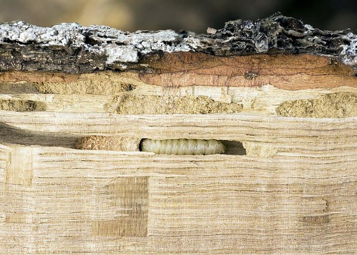 Woodworm Greeting Card featuring the photograph Wood-boring Insect Larva by Jeremy Walker