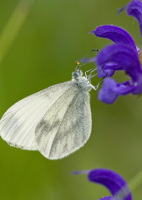 Biological Greeting Card featuring the photograph Wood White by Bob Gibbons
