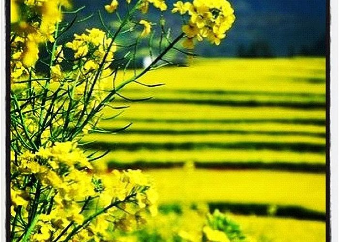 Beautiful Greeting Card featuring the photograph Yellow Field #ig #beautiful #iphoneart by Rocky Boat
