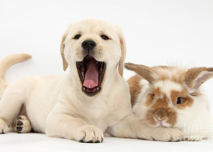 Nature Greeting Card featuring the photograph Yellow Lab Puppy With Rabbit by Mark Taylor