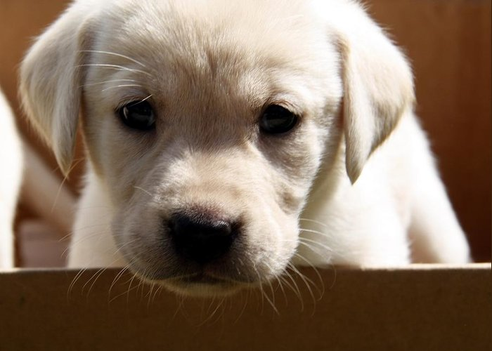 Yellow Lab Puppy Greeting Card
