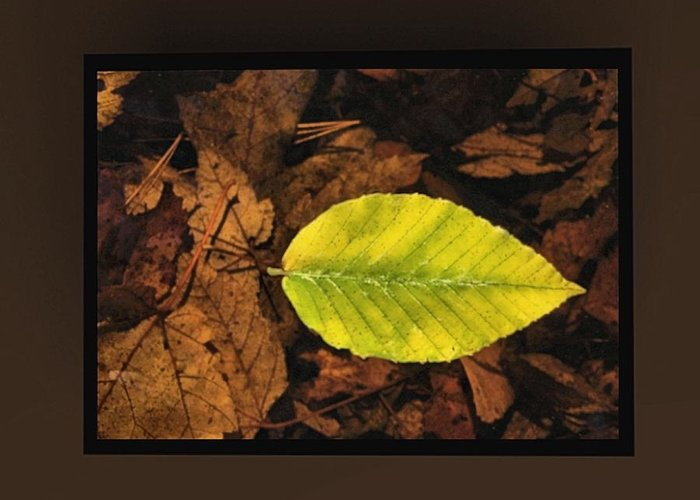 Brown Greeting Card featuring the mixed media Yellow Leaf by Kevin Moore