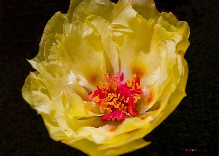 Yellow Portulaca Greeting Card featuring the glass art Yellow Portulaca by Mitch Shindelbower